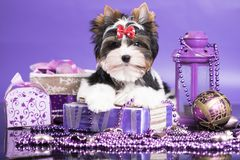 Chiot d'un Biewer Yorkshire Terrier Photographie stock libre de droits