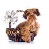 Chiot d'un chienchien décoratif dans un panier avec un arc. Images libres de droits