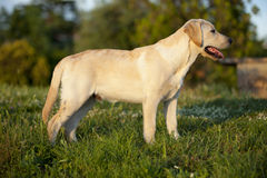 Chiot d'un Labrador blanc Images libres de droits