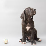 Chiot d'un mastiff allemand Photos stock