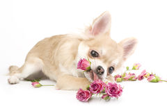 Chiot d'une manière amusante de chiwawa avec des roses Photo stock