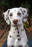 Chiot dalmatien Photo libre de droits
