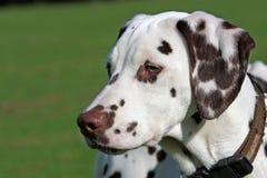 Chiot dalmatien Photos libres de droits
