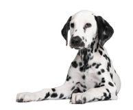 Chiot dalmatien Photographie stock