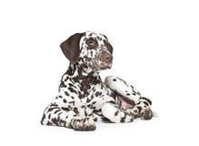 Chiot dalmatien de chien Image stock