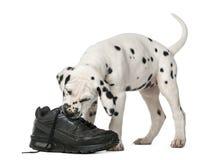 Chiot dalmatien mâchant une chaussure Photographie stock libre de droits