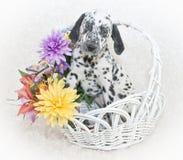 Chiot dalmatien mignon photographie stock libre de droits