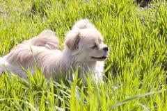 Chiot dans l'herbe Photographie stock libre de droits