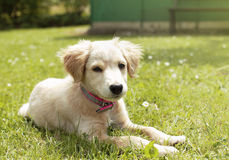 Chiot dans l'herbe Photographie stock