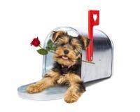 Chiot dans la boîte aux lettres tenant Rose rouge Image stock
