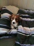 Chiot dans le lit Image libre de droits