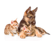 Chiot de berger allemand étreignant des chatons du Bengale D'isolement sur le blanc Photos stock