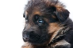 Chiot de berger allemand Photos stock