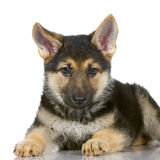 Chiot de berger allemand Photo stock