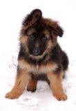 Chiot de berger allemand Photo stock