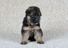 Chiot de berger allemand ! Photo libre de droits