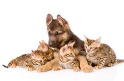 Chiot de berger allemand se trouvant avec des chatons du Bengale D'isolement Photo libre de droits