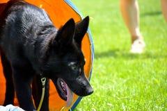 Chiot de berger dans le tunnel de chien Photos libres de droits