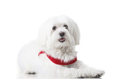 Chiot de Bichon Photo stock