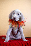 Chiot de bleu de Weimaraner Photos stock