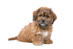 chiot de boomer Photo stock