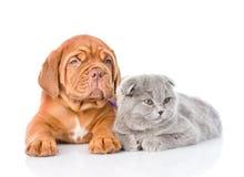 Chiot de Bordeaux et chat gris se trouvant ensemble D'isolement sur le blanc Image libre de droits