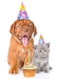 Chiot de Bordeaux et chaton écossais avec des chapeaux d'anniversaire et le Ca Photographie stock libre de droits