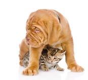 Chiot de Bordeaux et chaton du Bengale ensemble D'isolement sur le blanc Photos libres de droits