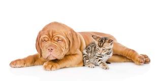Chiot de Bordeaux et chaton du Bengale ensemble D'isolement sur le blanc Photographie stock libre de droits