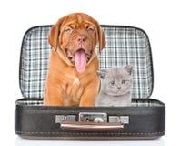 Chiot de Bordeaux et chaton gris se reposant ensemble dans un sac Isolat Image stock