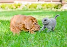 Chiot de Bordeaux et chaton nouveau-né sur l'herbe verte Photo stock