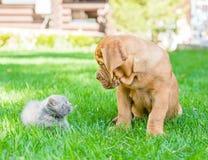 Chiot de Bordeaux et chaton nouveau-né sur l'herbe verte Photos libres de droits