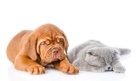 Chiot de Bordeaux se trouvant avec un chat gris de sommeil D'isolement sur le blanc Images stock