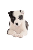 Chiot de border collie Photos stock
