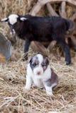 Chiot de border collie avec l'agneau Images libres de droits