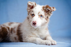 Chiot de border collie dans le studio Photos libres de droits