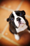 Chiot de Boston Terrier Image libre de droits
