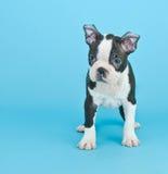 Chiot de Boston Terrier Image stock