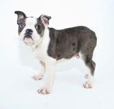Chiot de Boston Terrier Images libres de droits