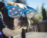 Chiot de Boston Terrier portant des lunettes de drapeau américain Image stock
