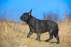 Chiot de bouledogue français Photos stock