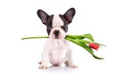 Chiot de bouledogue français avec la tulipe Photographie stock