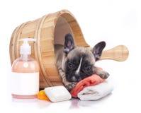 Chiot de bouledogue français dans le lavage en bois sur un fond blanc Images stock