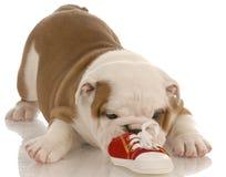 Chiot de bouledogue mâchant sur la chaussure Images stock