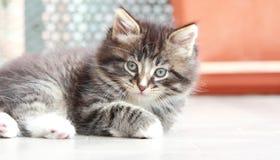 Chiot de Brown de chat, race sibérienne Photos libres de droits
