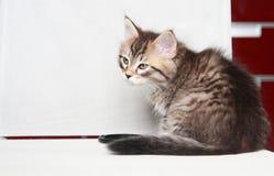 Chiot de Brown du chat sibérien Photographie stock libre de droits