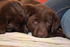 Chiot de Brown Labrador Photo libre de droits