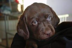 Chiot de Brown Labrador Photographie stock libre de droits