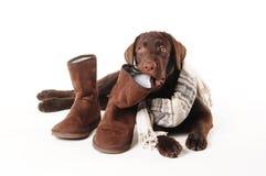 Chiot de Brown Labrador mâchant sur des bottes avec une écharpe sur un b blanc Photos stock