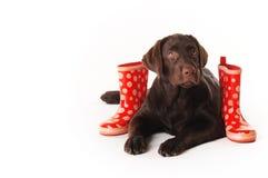 Chiot de Brown Labrador se trouvant avec   bottes en caoutchouc sur un backgr blanc Photographie stock